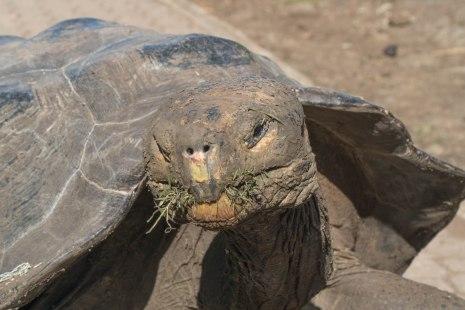 Tortoise Munching