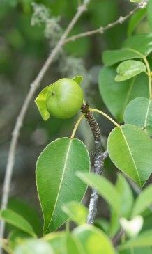 Poisonous Mazanilla Apples